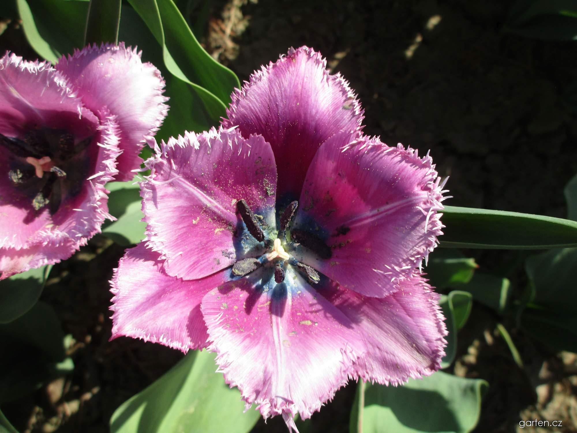 Tulipán Louvre (Tulipa x hybrida)