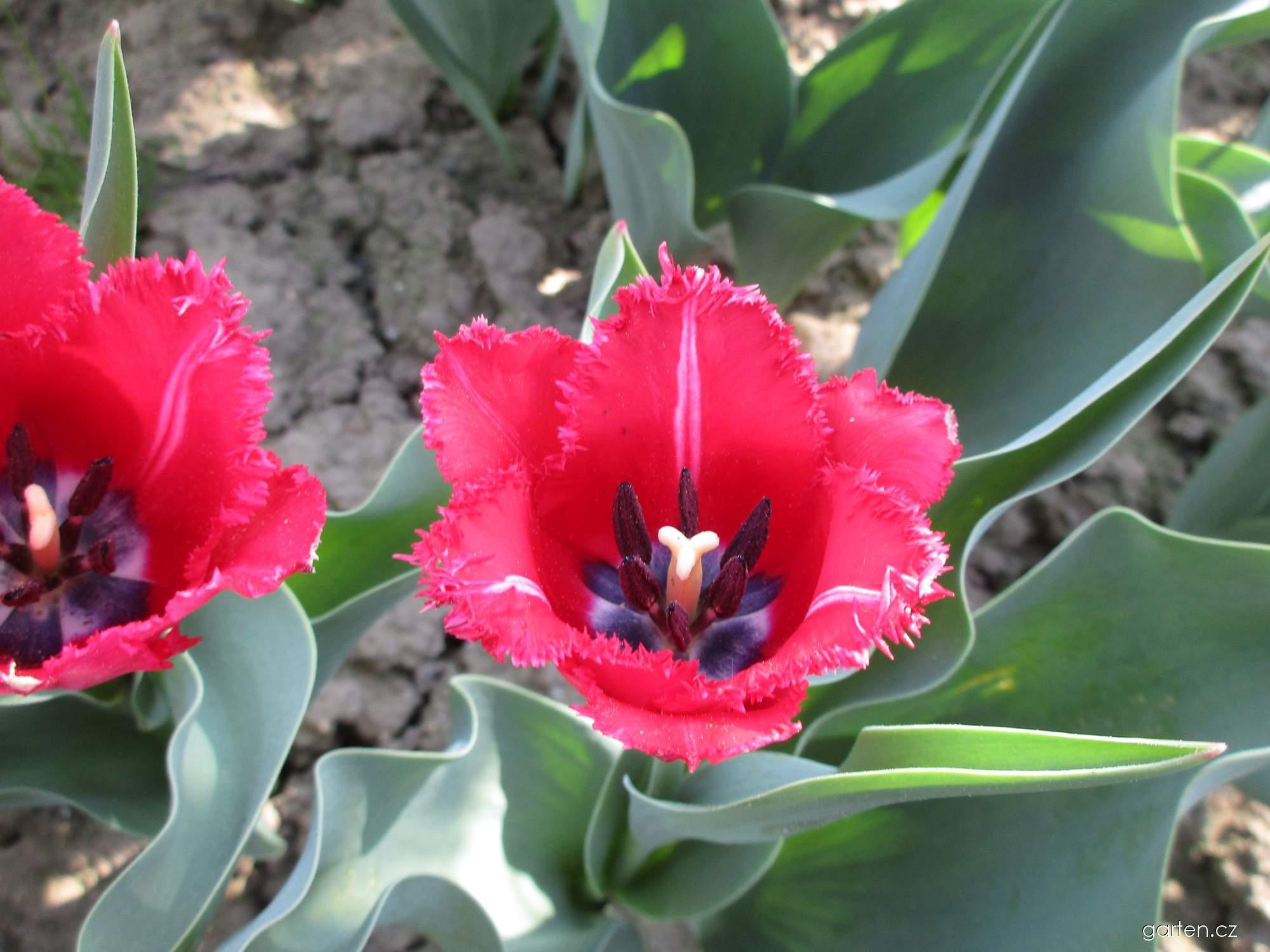 Tulipán Sundew (Tulipa x hybrida)