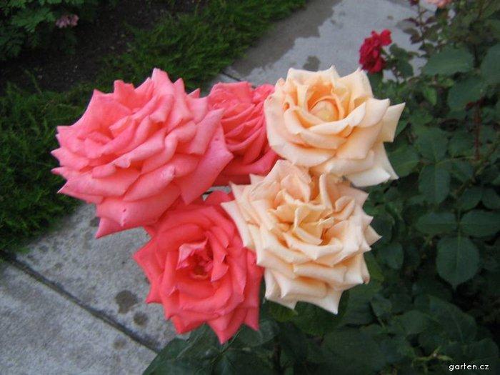 Dvoubarevná růže (Rosa)