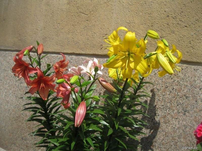 Lilie - asijské vysoké hybridy (Lilium x hybridum)