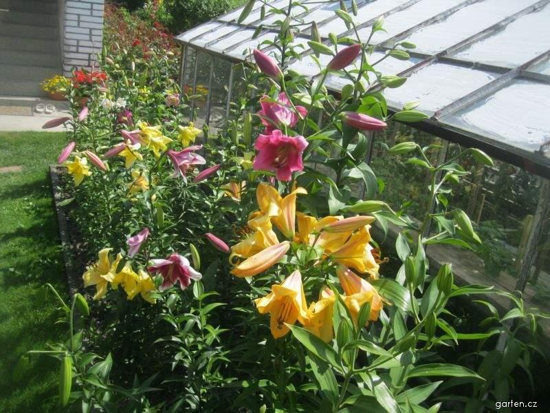 Lilie - OT hybridy (Lilium x hybridum)