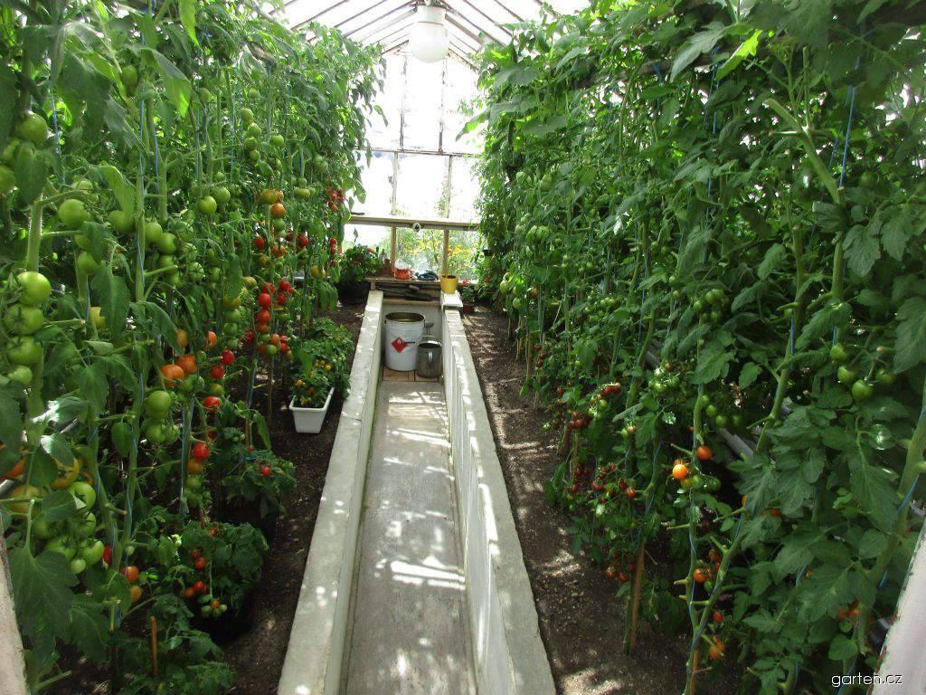 Rajče jedlé - rajčata ve skleníku (Solanum lycopersicum)