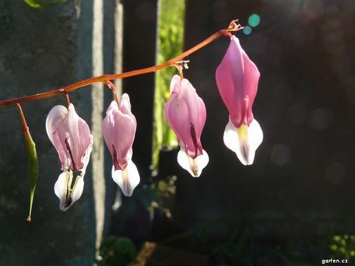 Srdcovka nádherná (Dicentra spectabilis)