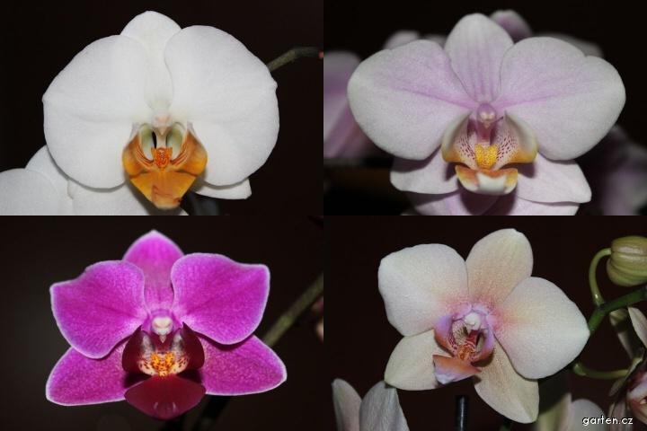 Falenopsis (Phalaenopsis)