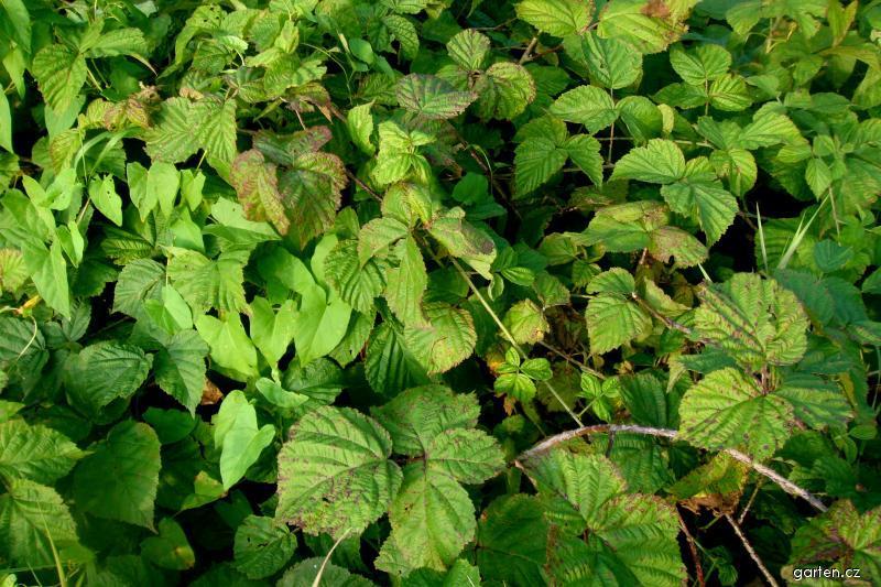 Ostružiník křovitý (Rubus fruticosus)