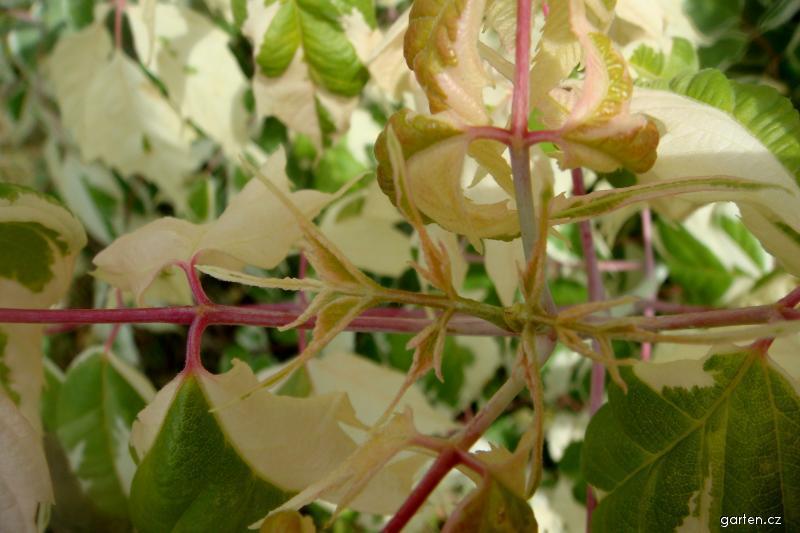 Javor jasanolistý Flamingo (Acer negundo)