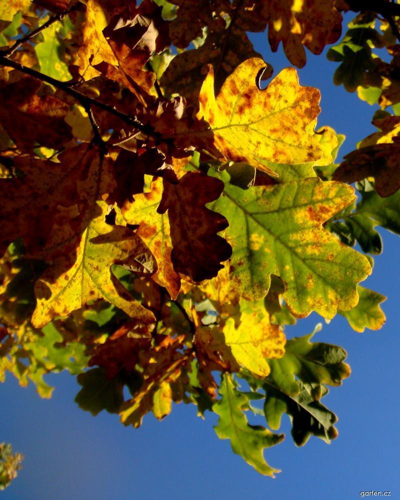 Dub - podzimní listí (Quercus)