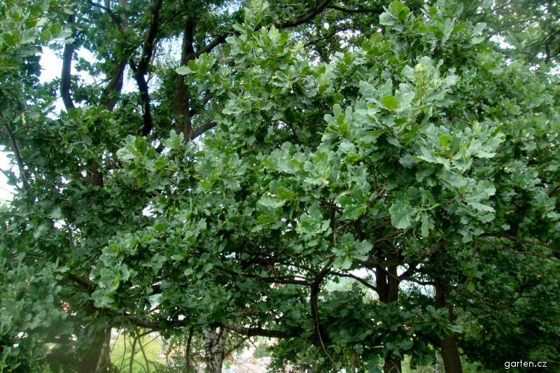 Dub (Quercus)
