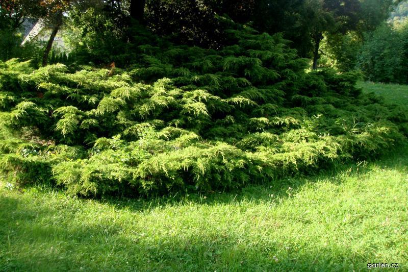 Jalovec prostřední (Juniperus x media)