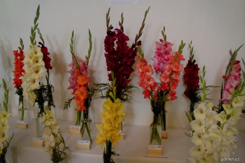 Mečíky (Gladiolus)