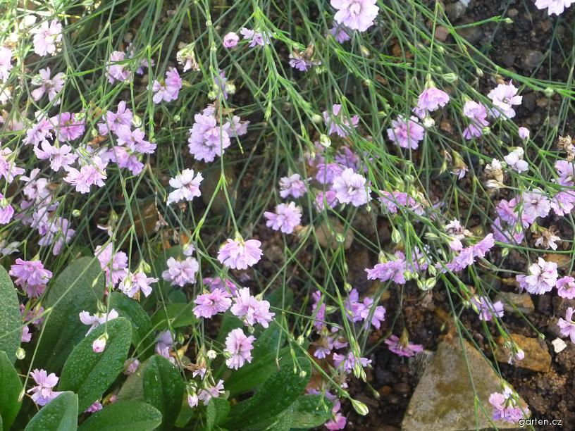 Hvozdíček lomikamenovitý (Petrorhagia saxifraga)