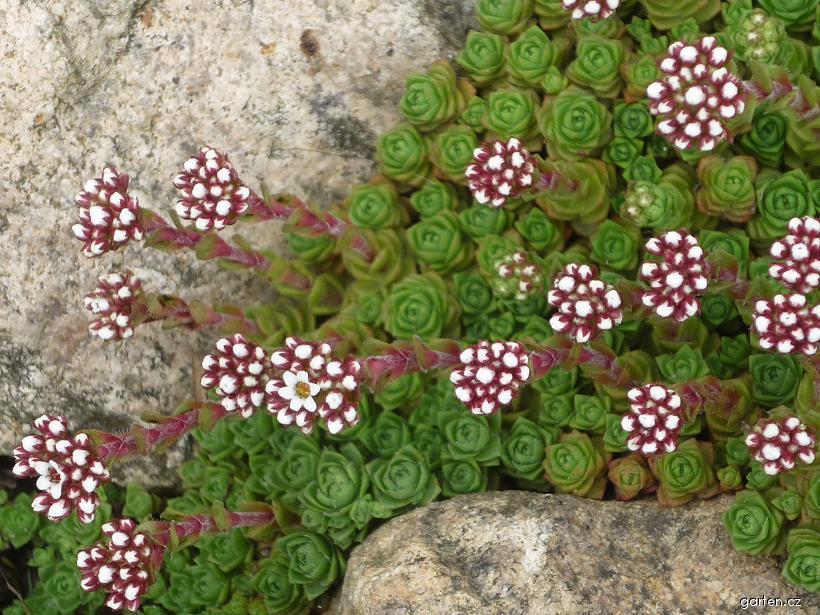 Tlustice (Crassula setulosa var deminuta)