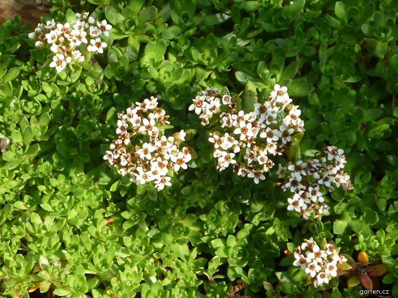 Tlustice (Crassula setulosa var rubra)