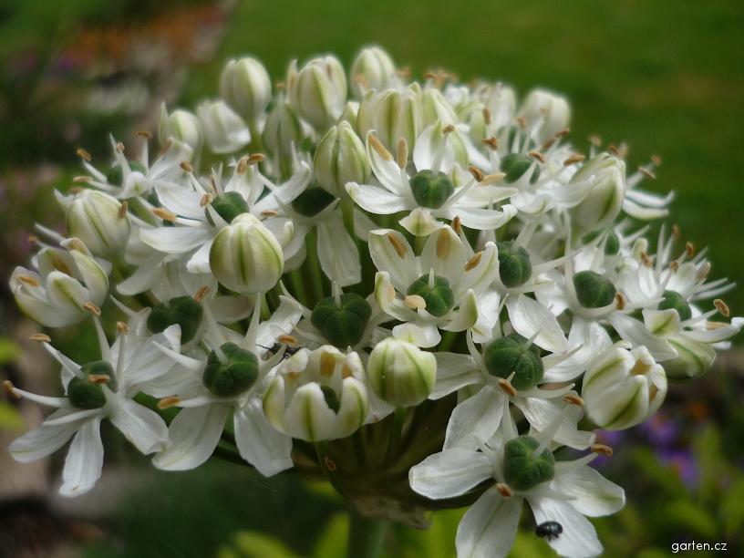 Česnek černý (Allium nigrum)