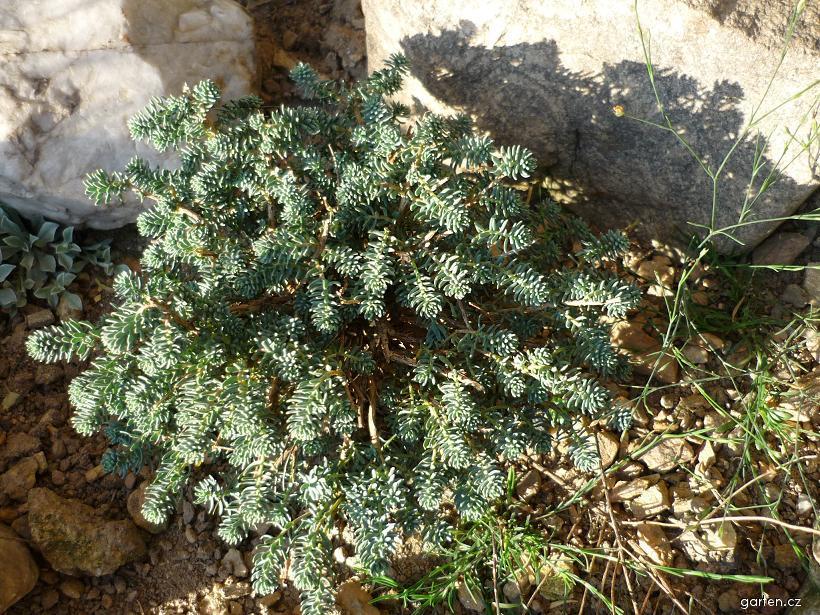 Sivutka velkokvětá (Aethionema grandiflorum)