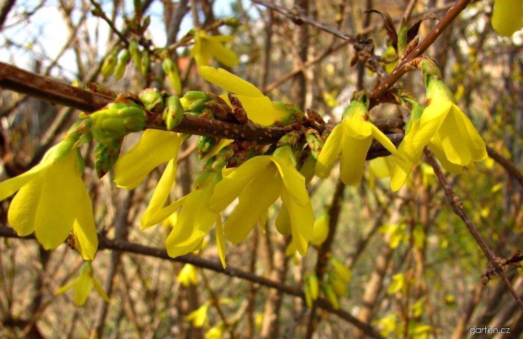 Zlatice prostřední (Forsythia x intermedia)