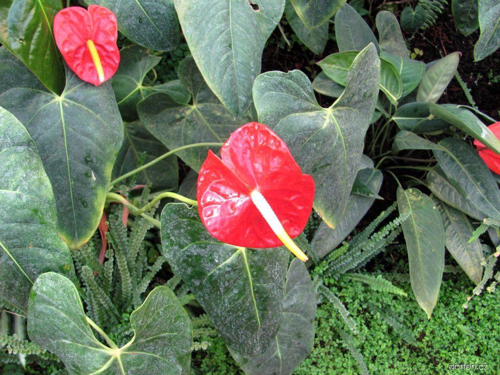 Toulitka - anturie (Anthurium)