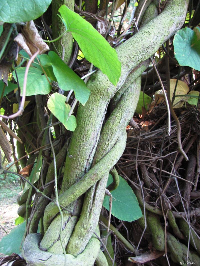 Podražec velkolistý (Aristolochia durior)