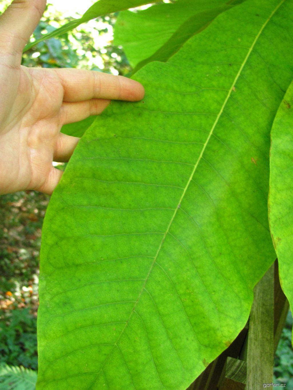 Šácholán tříplátečný (Magnolia tripetala)