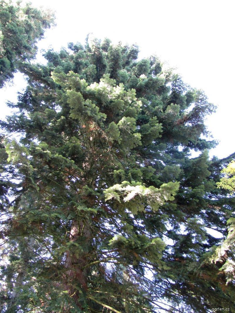 Jedle obrovská - výška 41,4m, stáří 80let, obvod kmene 210cm (Abies grandis)