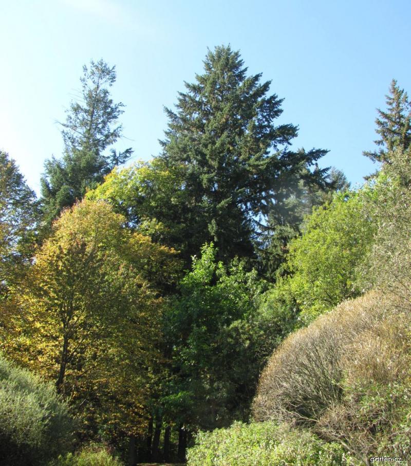 Douglaska tisolistá - strom ční do výšek (Pseudotsuga menziesii)