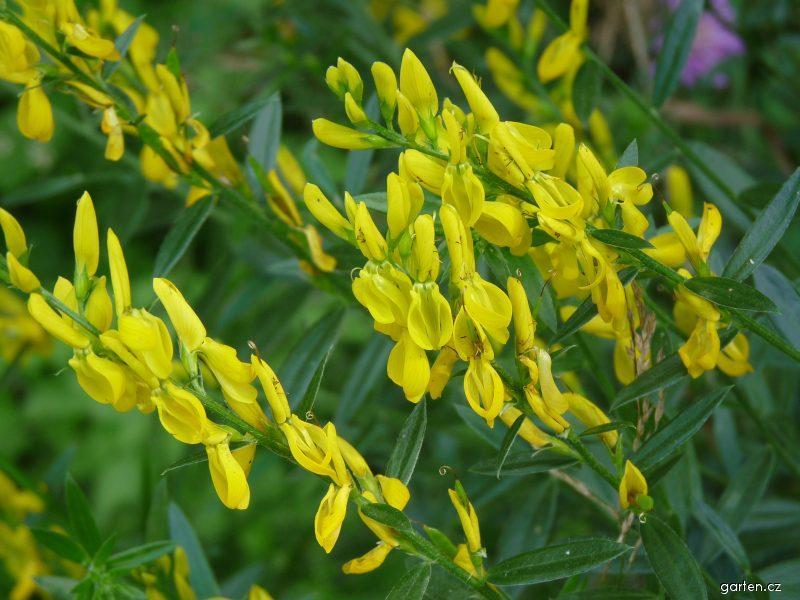 Kručinka barvířská - květy (Genista tinctoria)