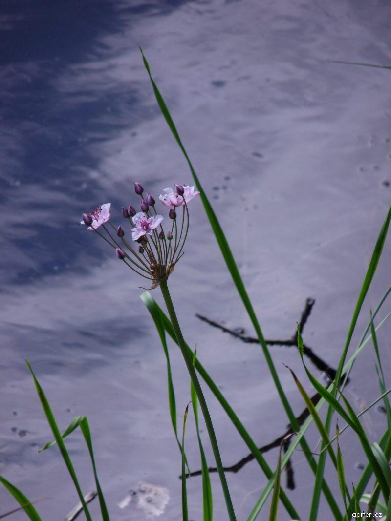 Šmel okoličnatý (Butomus umbellatus)