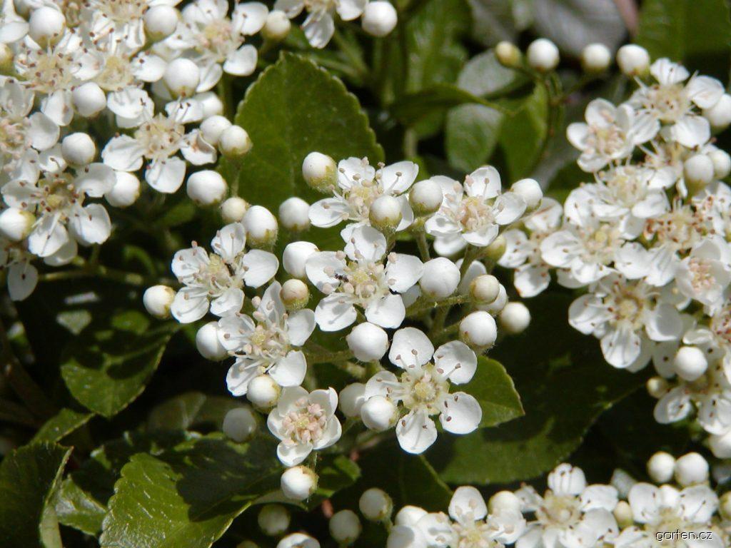 Hlohyně šarlatová Mohave - květ (Pyracantha coccinea)