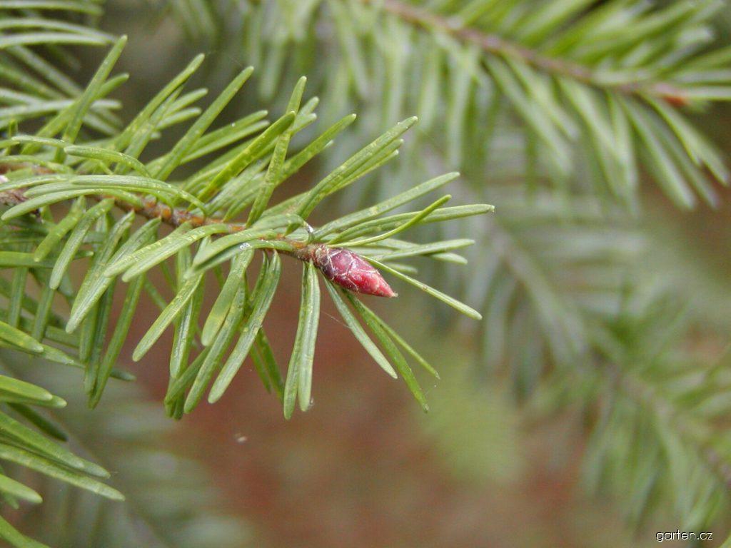 Douglaska tisolistá (Pseudotsuga menziesii)