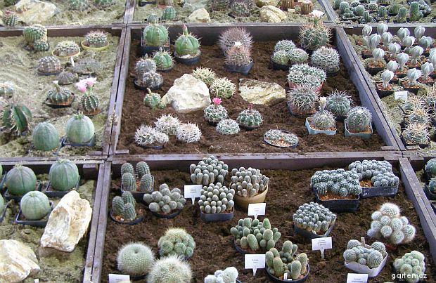 Kaktusy, ilustrační obrázek