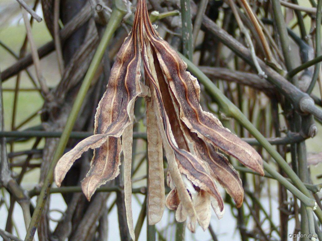 Podražec velkolistý (Aristolochia macrophylla)