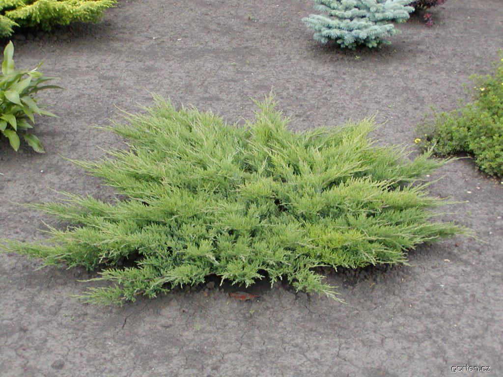 Forum obr zek jalovec plaziv juniperus horizontalis for Garten forum