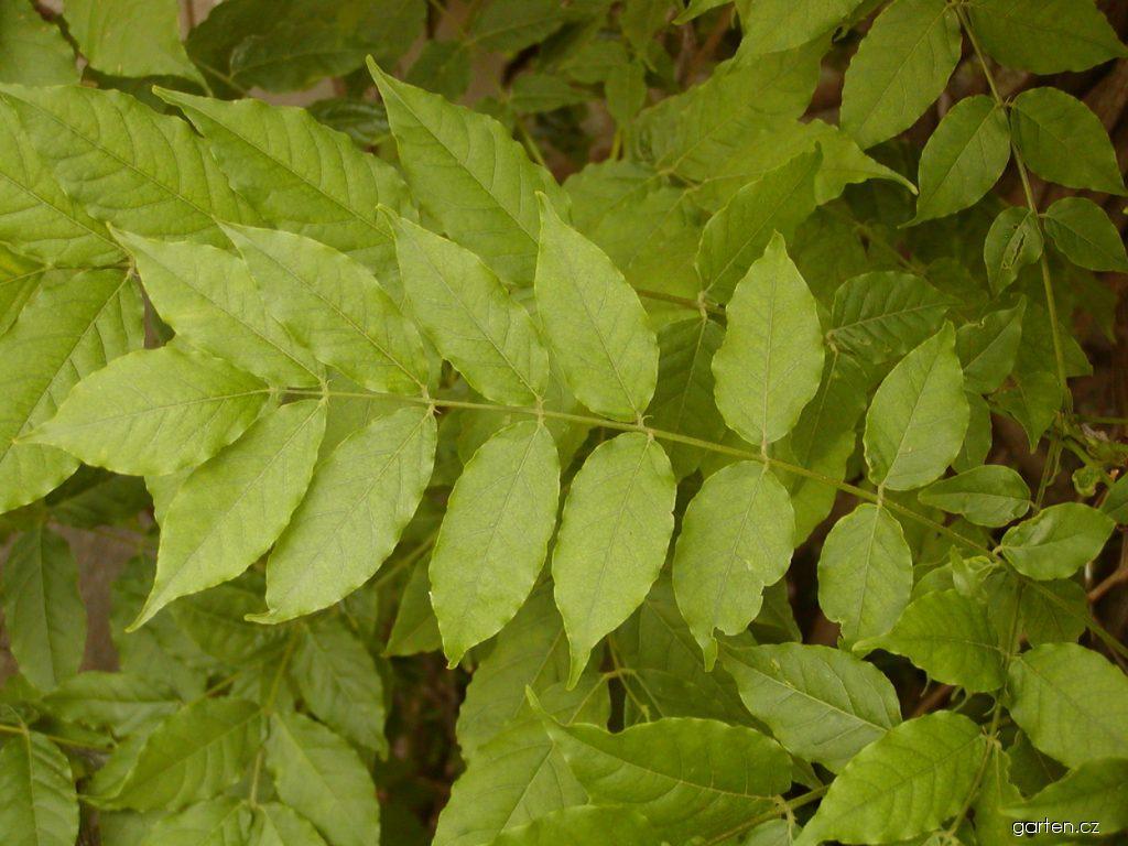 Vistárie čínská (Wisteria sinensis)
