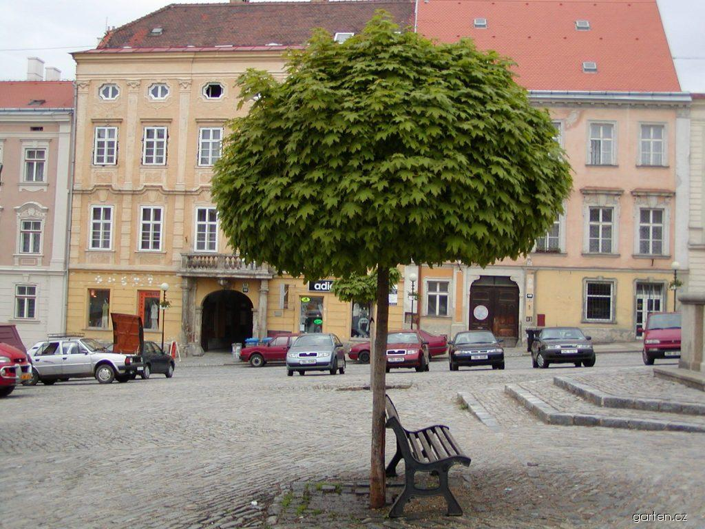 Javor mléč Globosum (Acer platanoides)