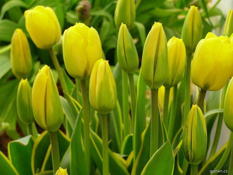 Jarní cibuloviny: tulipány