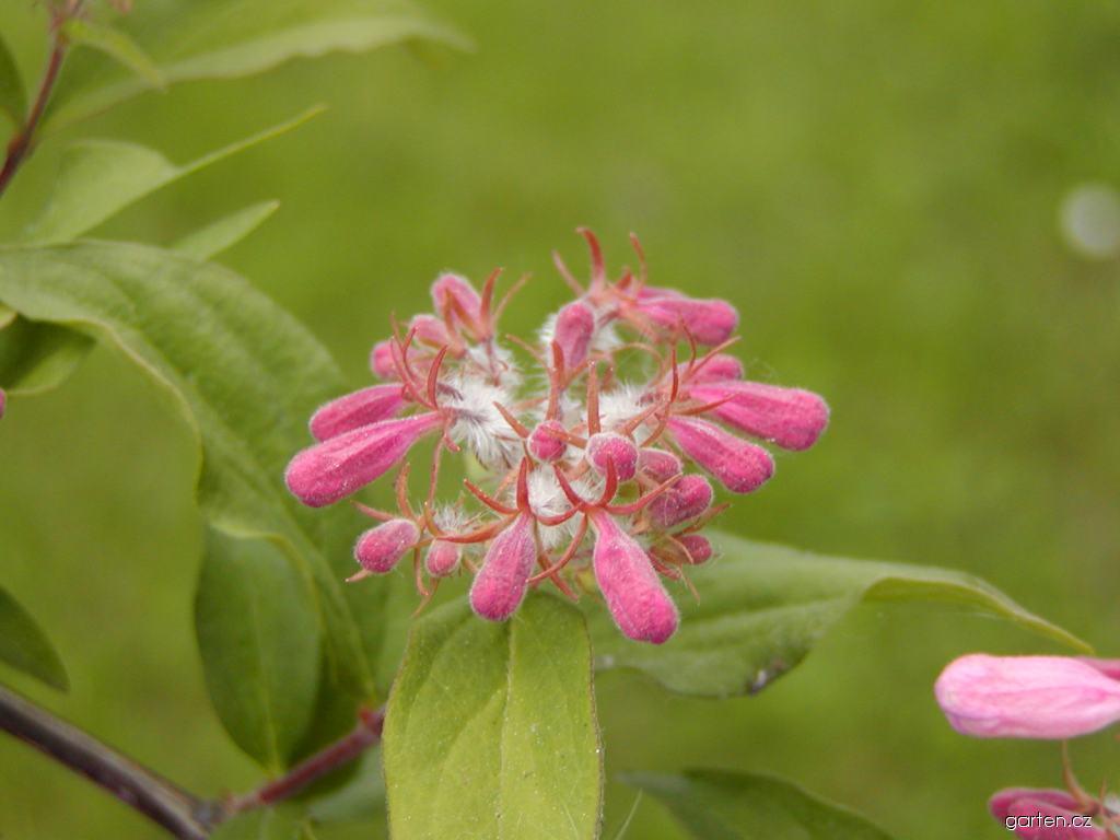 Kolkwitzie krásná (Kolkwitzia amabilis)