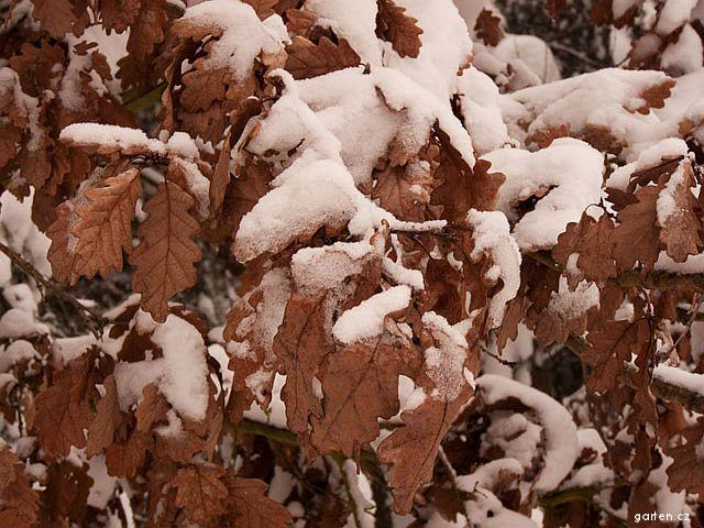 Dub - strom i v zimě většinou drží list (Quercus)