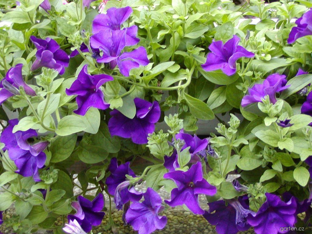 Surfinie Surfinia Blue (Petunia)