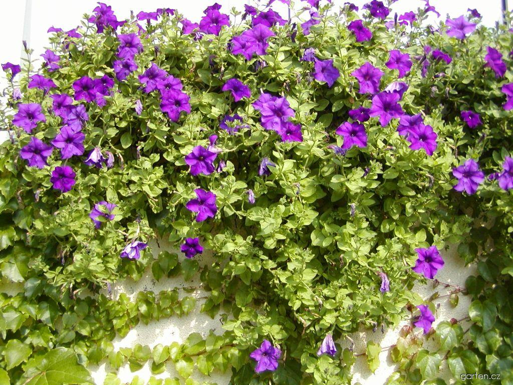 Surfinie Surfinia Blue (Petunia)