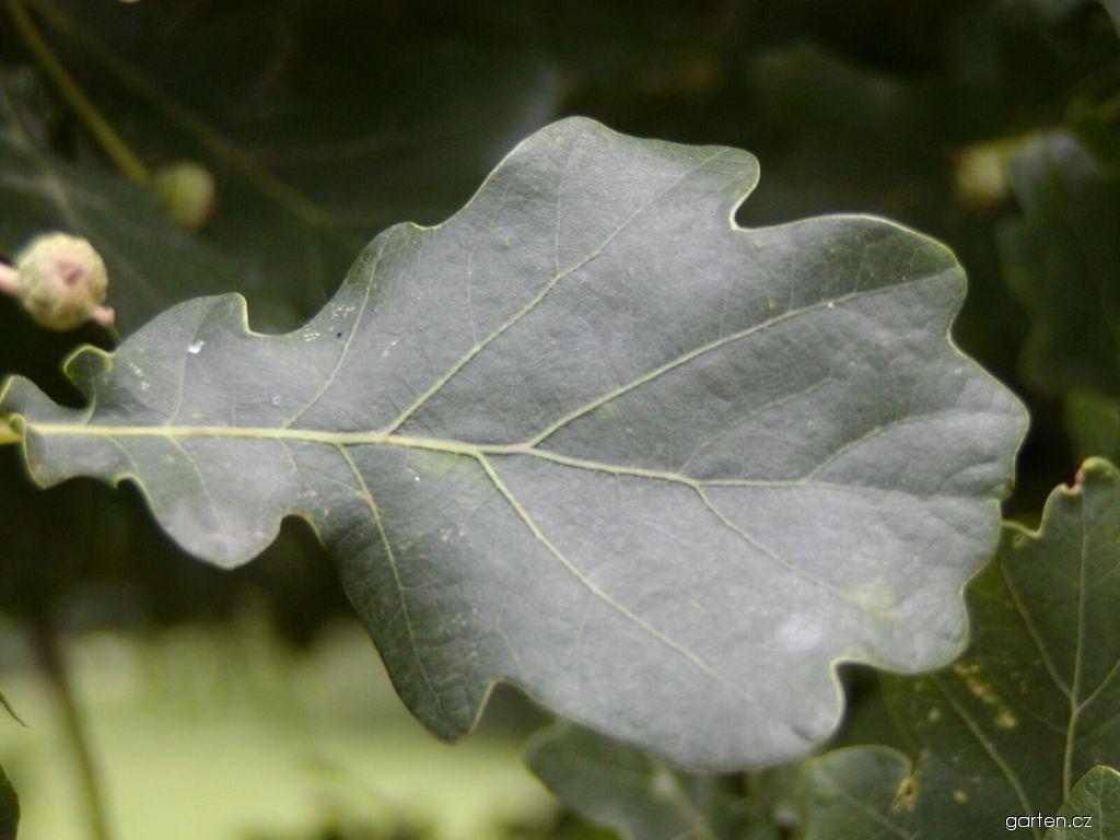Dub letní Fastigiata (Quercus robur)