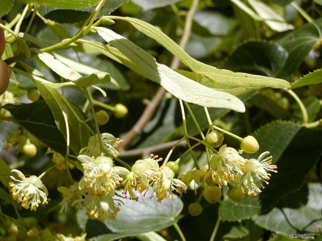 Lípa zelená (Tilia euchlora)