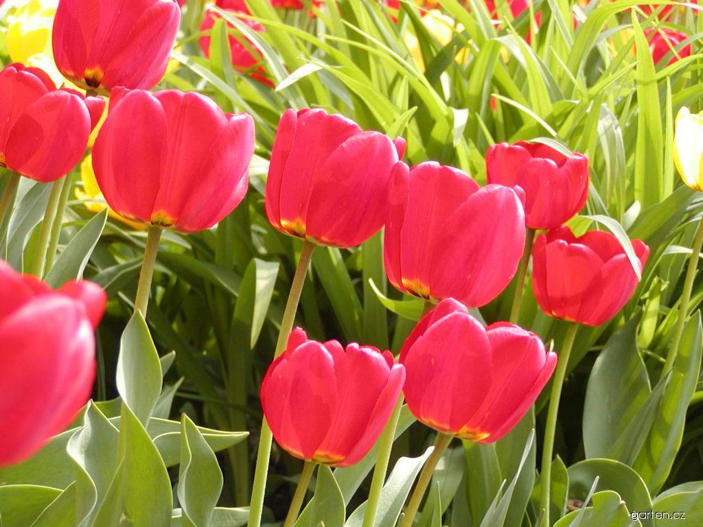 Tulipán Apeldoorn (Tulipa)