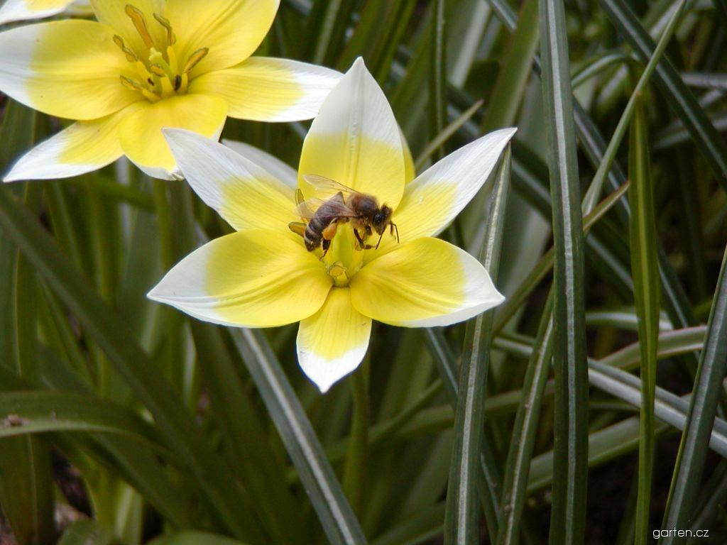 Tulipán pozdní (Tulipa urumiensis)