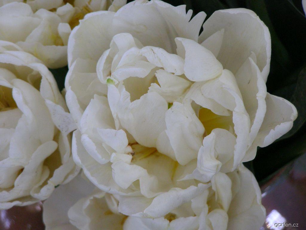Tulipán Evita (Tulipa)