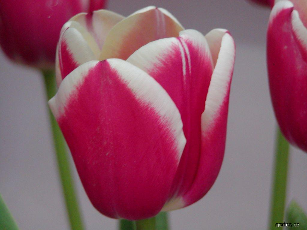 Tulipán Furand (Tulipa)