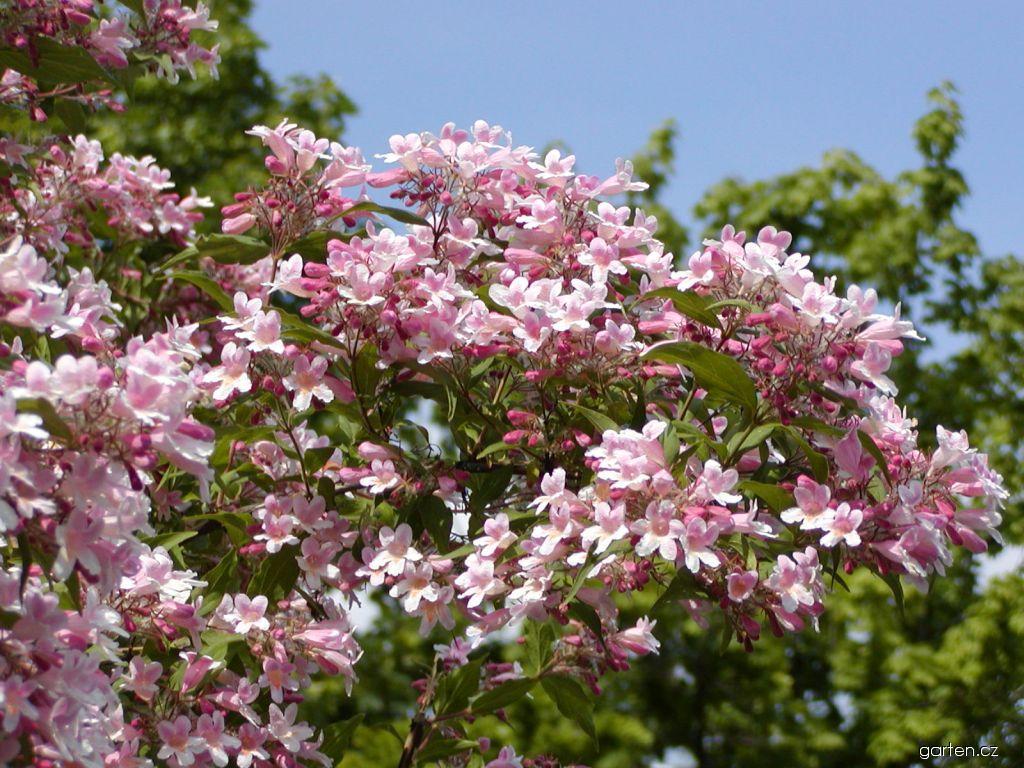 Kolkwitzie krásná Pink Cloud (Kolkwitzia amabilis)