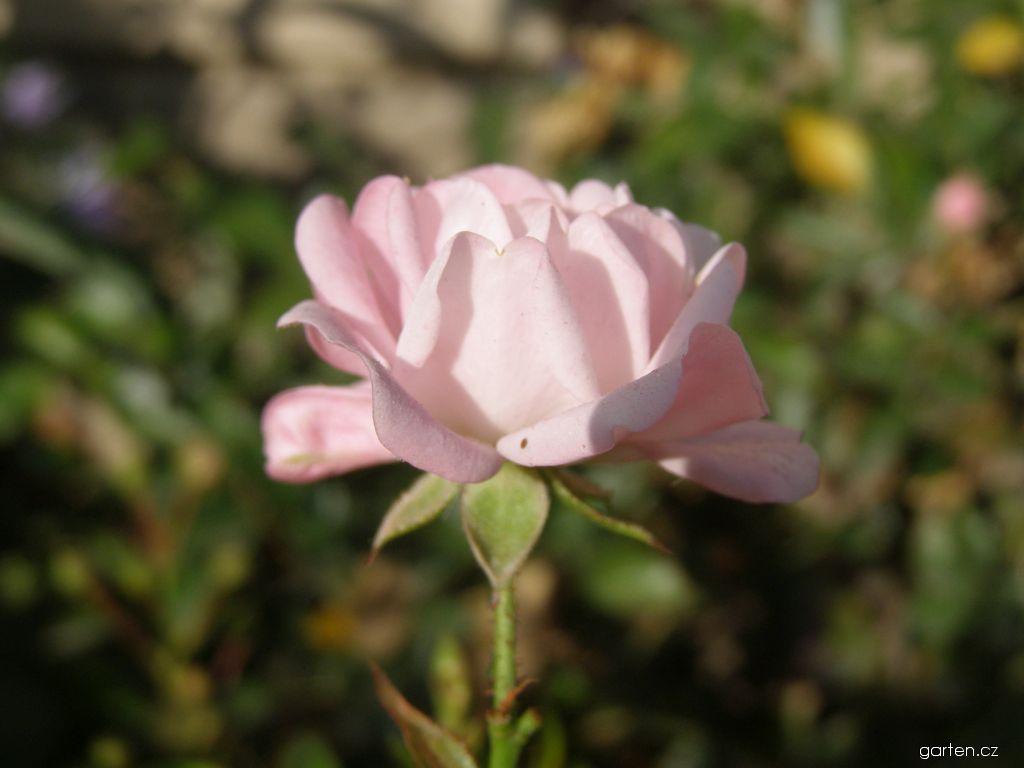 Růže The Fairy (Rosa)