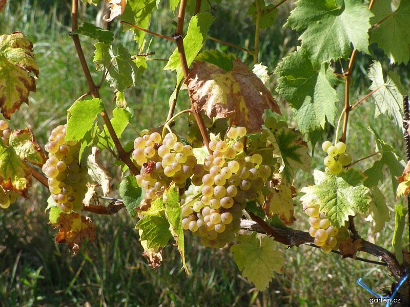Réva vinná - plody bobule (Vitis vinifera)