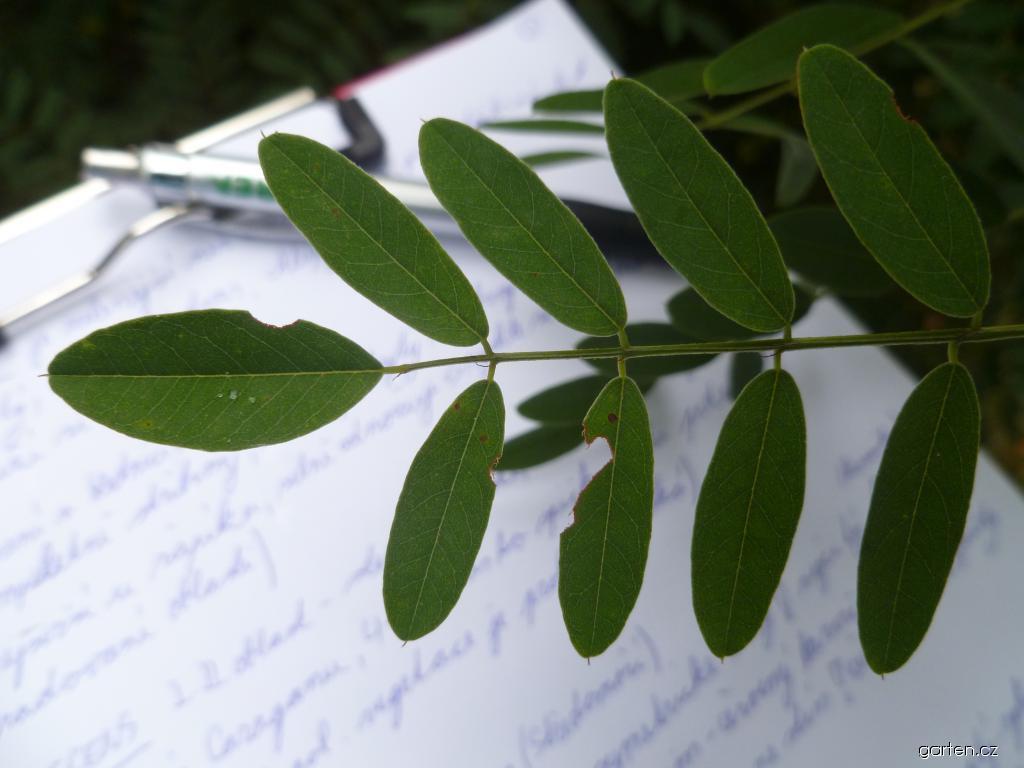 Netvařec křovitý - listy (Amorpha fruticosa)