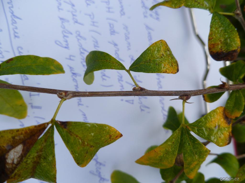Čimišník křovitý - listy (Caragana frutex)